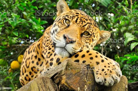 A Jaguar In The Amazon Jungle Stock Photo - Download Image ...