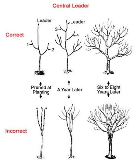 pruning apple trees in autumn how to prune an apple tree the garden of eaden