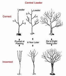 HOW TO PRUNE AN APPLE TREE |The Garden of Eaden