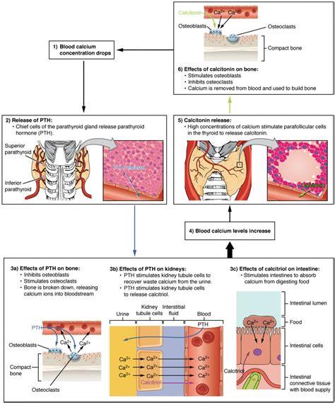 parathyroid glands anatomy  physiology