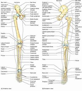 3 Skeletal Framework Of The Lower Limb  Moore And Dalley