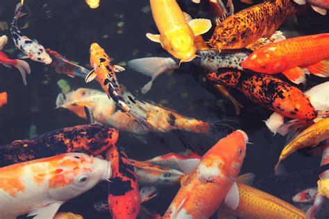 amour dans la cuisine choisir des poissons pour le bassin