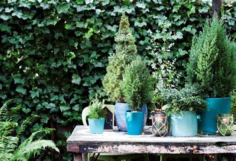 arbusti da terrazzo sempreverdi da terrazzo piante da terrazzo scegliere