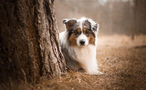 australian shepherd dog hd animals  wallpapers images