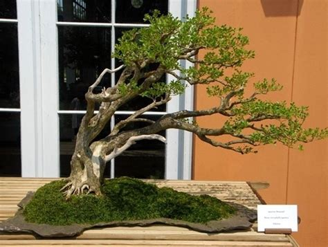 Bonsai Per Interni Bonsai Da Interno Bonsai Bonsai Per Appartamento