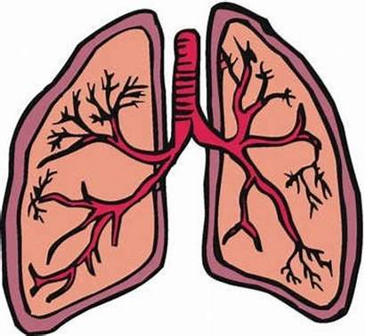 Lung Lungs Clip Clipart Respiratory System Clker