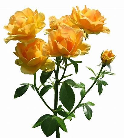 Rose Rosa Roses Clipart Zonta Orange Blooming