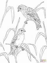 Coloring Pages Canary Canaries Printable Atlantic Supercoloring Popular Coloringhome sketch template