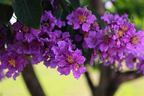 purple trees name top 28 purple tree flowers purple blue flowering trees a gallery on flickr purple flowers
