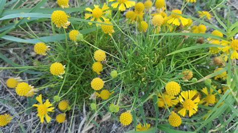 What Is The Name Of This Yellow Flower Ground Cover Fort
