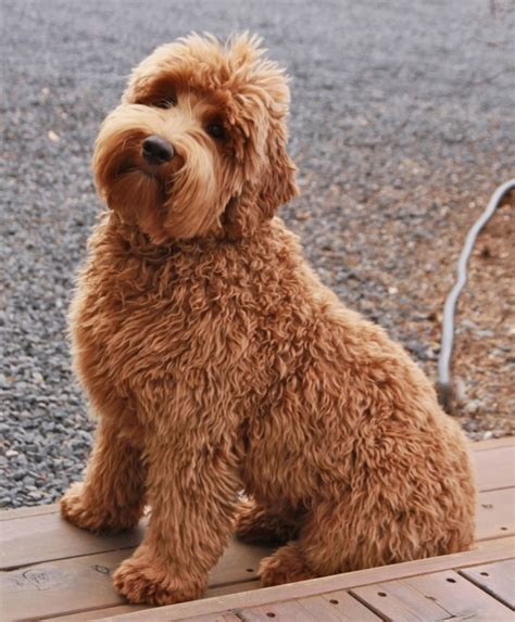 La Doodle  Breeds Of Dogs That Are Best For People With