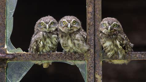 baby owl desktop wallpaper  wallpapersafari