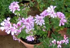 how to propagate scented geraniums how to propagate scented geraniums