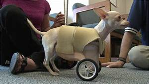 Dog Born Without Front Legs Gets Wheels | The Ark In Space