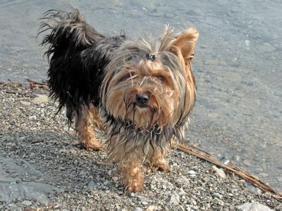 yorkshire terriers itch scratch  lot pets