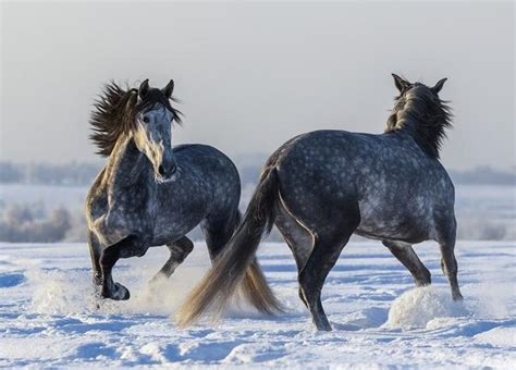 horse andalusian facts interesting horses famous know names appaloosa characteristics might animal andalusians most