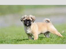 Seven Things You Didn't Know about the Chihuahua Pug Mix