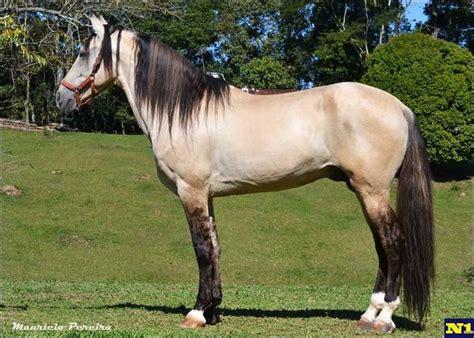 horse horses campolina dun andalusian mangalarga brazil marchador alabama clydesdale barb marcha verdadeira saddlebred gaited breeds da conquista holsteiner called