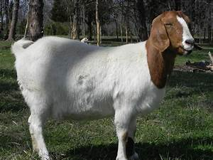 Boer Goat Does For Sale in Kentucky from Cane Run Creek ...