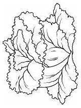 Lettuce Coloring Pages Vegetables Recommended Colors Mycoloring sketch template