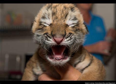 Rare Amur Tiger Cubs Born At Columbus Zoo (PHOTOS, VIDEO ...