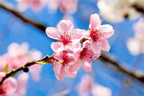 ci dei fiori fiori di ciliegio il significato dei fiori
