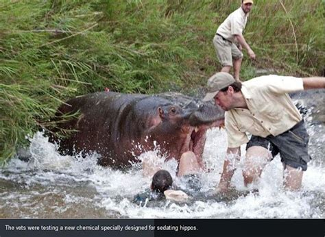 Hippo Almost Killed A Vet (3 Pics