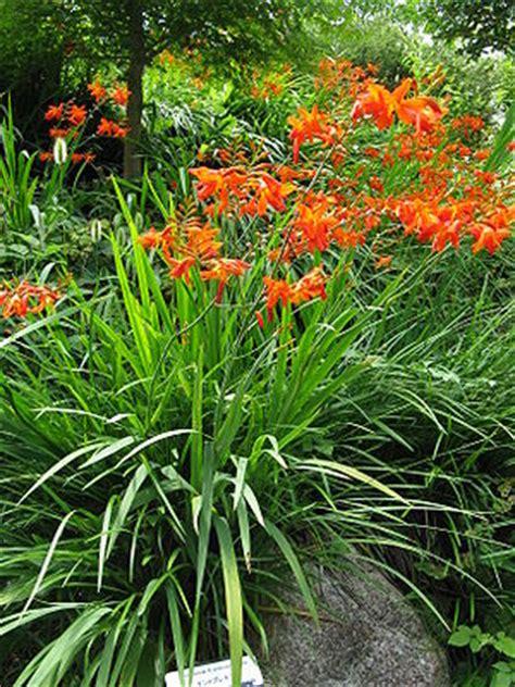 Gartenmontbretie Wikipedia