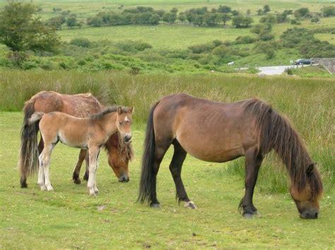dartmoor ponies mammal aphotofauna pony objective furthering environmental website main mammals