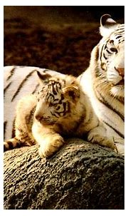 Baby Tiger Wallpaper | HD Wallpapers Collection