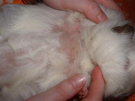 stellen ohne fell meerschweinchen babys nachwuchs