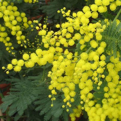 mimosa d hiver plantes et jardins