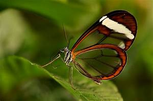Bedeutung Schmetterling In Der Wohnung : schmetterling mit durchsichtigen fl geln foto bild tiere zoo wildpark falknerei ~ Watch28wear.com Haus und Dekorationen