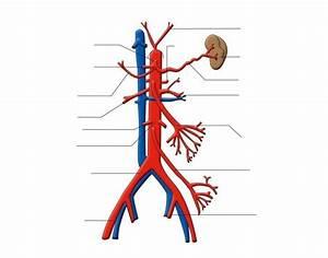 Abdominal Vasculature