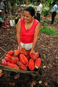 Free Picture Amazonia Chocolate Ecuador Women Cocoa
