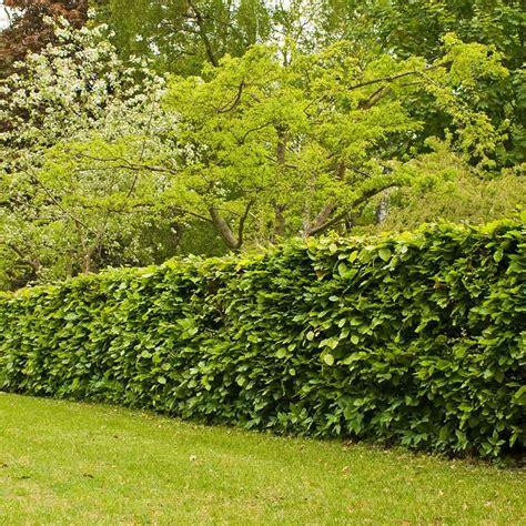 home copper hornbeam hedge carpinus betulus hedges direct uk