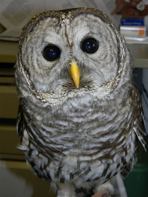 vote for the barred owl name the wildlife center of
