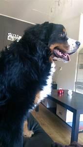Berner Sennenhund Gewicht : gewicht berner sennen pagina 2 hondenforum ~ Markanthonyermac.com Haus und Dekorationen