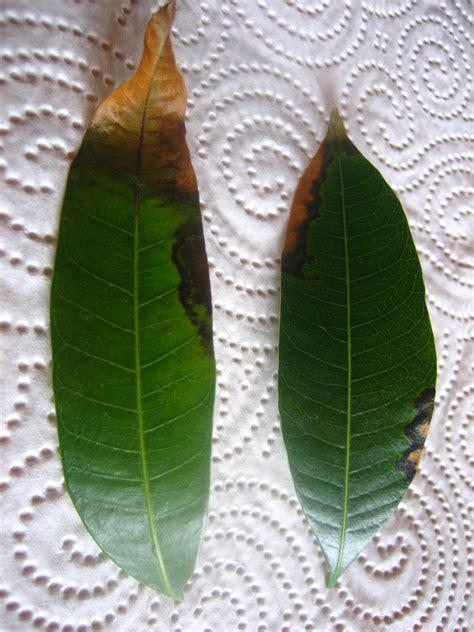 mango selber ziehen mango selber ziehen pflanzen aus aller welt