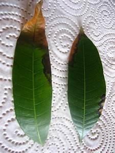 Aprikosenbaum Selber Ziehen : mango selber ziehen pflanzen aus aller welt ~ Lizthompson.info Haus und Dekorationen