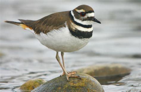 killdeer bird facts habitat eggs sounds adaptations