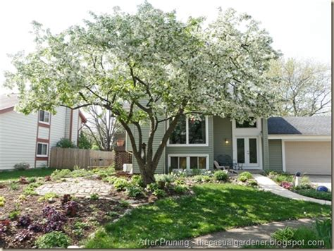 how to prune a crabapple tree tips for tree pruning an earth day celebration shawna coronado