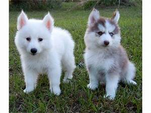 The gallery for --> Pomeranian Husky Mix Full Grown