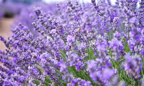 Lavendelpflege Urlaubsflair Im Garten  Das Haus