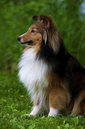 sheltie shed 123 best images about sheltie on