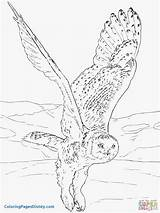 Owl Coloring Snowy Owls Pages Ox Musk Drawing Printable Flying Realistic Barn Arctic Animals Drawings Print Eagle Birds Kleurplaten Dot sketch template