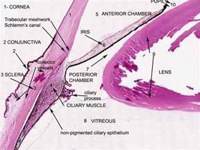Eye Histology Labeled