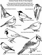 Birds Coloring Bird Pages Printable Feeder England Backyard Winter Drawing Template Common Chickadee Stuck Glue Identifier February Octopus Paintbrush Give sketch template