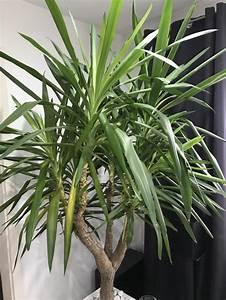 Yucca Palme Pflege : yucca palme bl tter sterben ab pflanzenkrankheiten sch dlinge green24 hilfe pflege bilder ~ Eleganceandgraceweddings.com Haus und Dekorationen