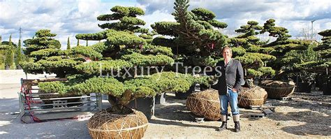 Garten Bonsai Winterfest Machen by Exklusive Gartenbonsai Kaufen 187 Luxurytrees 174 Shop